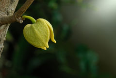 Soursop ή τραχύ λουλούδι της Apple κρέμας Στοκ Φωτογραφίες