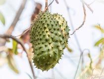 Soursop καρπός στο δέντρο (Annona muricata Λ ) Στοκ εικόνες με δικαίωμα ελεύθερης χρήσης