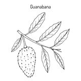Soursop Annona muricata, ή guanabana, ιατρικές εγκαταστάσεις Διανυσματική απεικόνιση