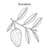 Soursop Annona muricata lub guanabana, lecznicza roślina ilustracja wektor