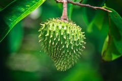 Soursop, an exotic Caribbean fruit Royalty Free Stock Image