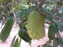 Soursop fruit Stock Images