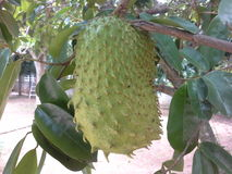 Soursop fruit Royalty Free Stock Photos