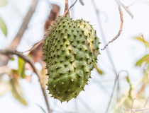 Soursop fruit on tree (Annona muricata L.). A Soursop fruit on tree (Annona muricata L Royalty Free Stock Images