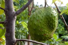 Soursop Fruit on the tree. Soursop fruit or Annona muricata on the tree is Sour taste royalty free stock photos