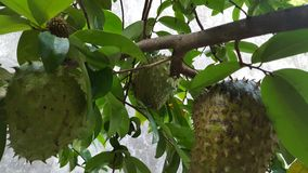Soursop fruits, one of the sweetest fruits. That grows in the tropics stock images
