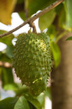 Soursop. A soursop is hanging on its tree branch Royalty Free Stock Image