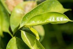 Soursop, Prickly Custard Apple, tree. Stock Photo