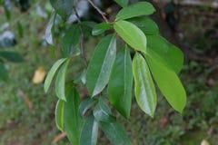 Soursop wiecznozielony drzewo z szerokimi zielonymi li??mi, gatunki genus Annona rodzinny Annonovye zamkni?ty krewny zdjęcia stock