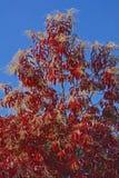 Sourwood树) 图库摄影