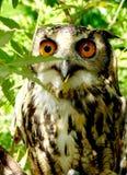 Sous-adulte d'Eagle Owl d'Indien Image stock