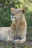 Sous adulte, lion africain masculin (Panthera Lion) Tanzanie Photo libre de droits