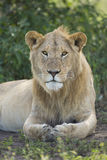 Sous adulte, lion africain masculin (Panthera Lion) Tanzanie Images stock