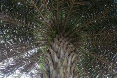 Sous des branches de palmier de date et des feuilles vertes photos libres de droits