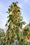 Sous-espèce d'unguiculata de Vigna Photographie stock libre de droits