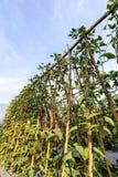 Sous-espèce d'unguiculata de Vigna Photos stock