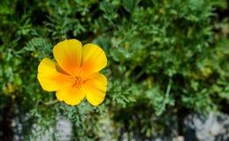 Sous-espèce de californica d'Eschscholzia Mexicana Plan rapproché Photos stock