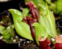 Sous-espèce de purpurea de Sarracenia venosa Photo libre de droits
