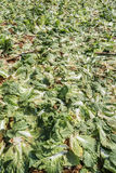 Sous-espèce de rapa de brassica pekinensis, ferme végétale de champ Photographie stock libre de droits