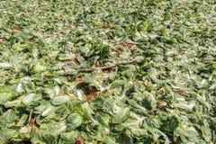 Sous-espèce de rapa de brassica pekinensis, ferme végétale de champ Image stock