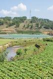 Sous-espèce de rapa de brassica pekinensis, ferme végétale de champ Images stock