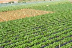 Sous-espèce de rapa de brassica pekinensis, ferme végétale de champ Image libre de droits
