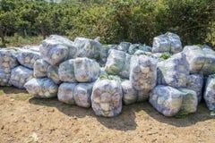 Sous-espèce de rapa de brassica pekinensis, légumes moissonnés Photographie stock