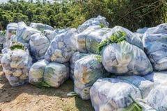 Sous-espèce de rapa de brassica pekinensis, légumes moissonnés Images libres de droits