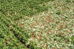 Sous-espèce de rapa de brassica pekinensis, légumes moissonnés Photos stock