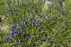 Sous-espèce de sintenisii d'iris sintenisii Photo libre de droits