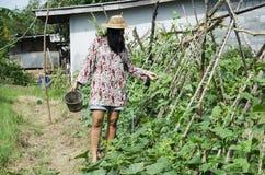 Sous-espèce thaïlandaise d'unguiculata de Vigna d'agriculture de récolte de femmes sesquipe Photographie stock libre de droits