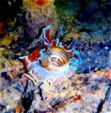Sous l'escargot de mer de l'eau Photo stock