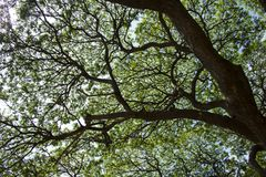 Sous la nuance de l'arbre de pluie Photographie stock
