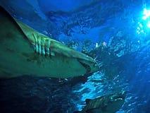 Sous la vue deux du sable Tiger Shark Under The Sea photos stock