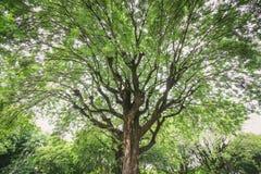 Sous le grand arbre de tamarinier vert Photo stock