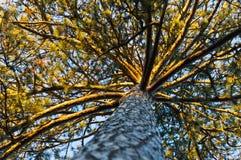 Sous le pin d'or puissant au parc de Topcider, Belgrade photographie stock