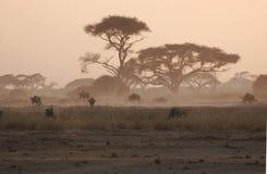 Sous les arbres d'acacia Photo libre de droits
