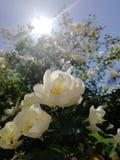 Sous les fleurs d'Apple du soleil image stock