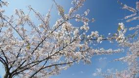 Sous les fleurs de cerisier, mouvement lent, chariot dedans banque de vidéos