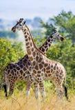 Sous les girafes brillantes d'un Rothschild du soleil deux (camelopardalis de Giraffa) tenez-vous à un arbre avec les longs cous  Photo libre de droits