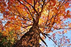Sous un arbre d'érable Image libre de droits