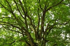 Sous un arbre de chêne photographie stock