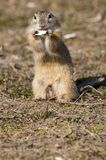 Souslik or European Ground Squirrel Royalty Free Stock Image