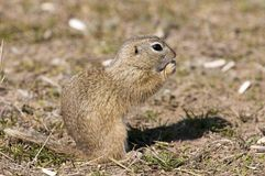 Souslik or European Ground Squirrel Stock Image