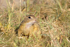 Souslik or European Ground Squirrel (Spermophilus Royalty Free Stock Photography