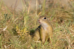Souslik or European Ground Squirrel (Spermophilus. Citellus) attention to birds of prey Stock Photos