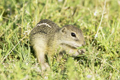 Souslik or European Ground Squirrel (Spermophilus citellus) Royalty Free Stock Photography