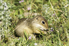 Souslik or European Ground Squirrel (Spermophilus citellus) Royalty Free Stock Photos