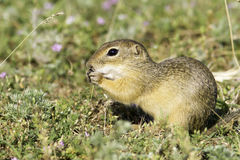 Souslik or European Ground Squirrel (Spermophilus citellus) Stock Photo
