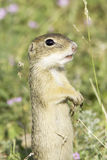Souslik or European Ground Squirrel (Spermophilus citellus) Stock Image